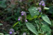쥐꼬리망초, 오미자 등 신품종 조사기준 마련